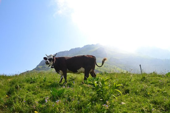 La Tournette: A nice day to be a cow