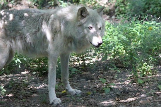 Lakota Wolf Preserve: Wolf at Lakota