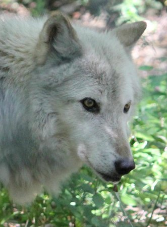 Lakota Wolf Preserve: Beautiful animal!