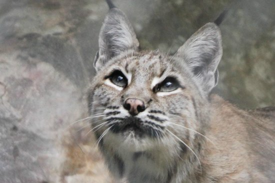 Lakota Wolf Preserve: Bobcat at Lakota