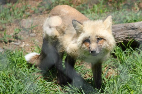 Lakota Wolf Preserve: Lakota Fox