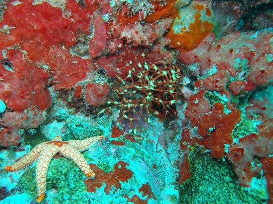 Coco Palm Dhuni Kolhu: Tauchgang rund um Dhuni Kolhu - Seestern und Korallen