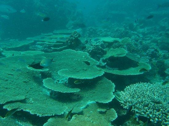 Coco Palm Dhuni Kolhu: Tauchgang rund um Dhuni Kolhu - Korallen