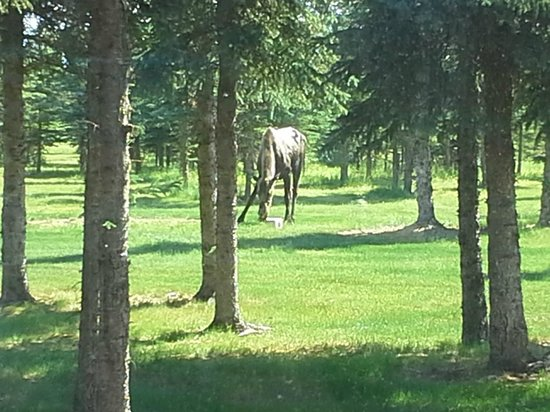 Denali Dome Home Bed and Breakfast: Moose in the yard.