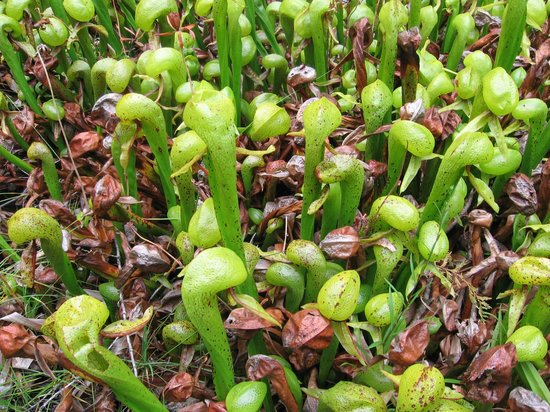 Darlingtonia State Natural Site: Darlingtonia Plants