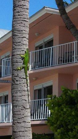 Chesapeake Beach Resort: Iguana climbing tree