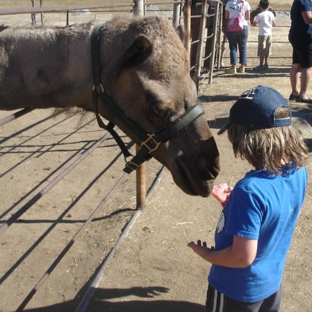 Oasis Camel Dairy : feeding the camel