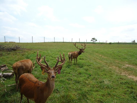 Red Deer at Rolling Hills Farm
