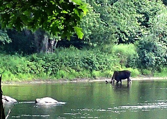 Bethel Outdoor Adventure: Moose at Wilson's Ripps