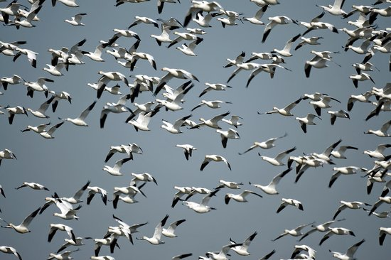 Merced National Wildlife Refuge: Snow Geese in Flight