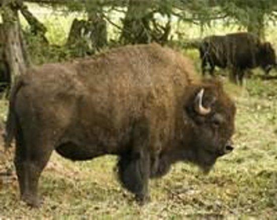 Northwest Trek Wildlife Park: bison MUCH bigger than they look here