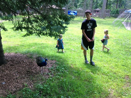 Zoo in Forest Park: A few peacocks walking about, also saw femal with chicks :-)