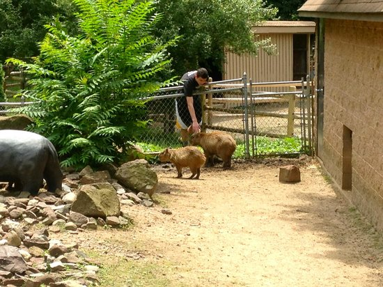 Zoo in Forest Park : Capybara