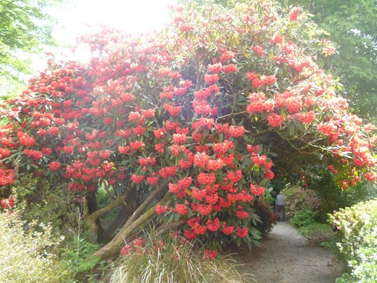 Trengwainton Garden: Just one of the many colourful rhododendrons
