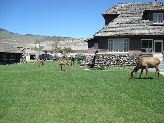 Mammoth Hot Springs Dining Room: Elk nearby
