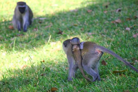 Baobab Beach Resort & Spa: Monkeys are everywhere in the grounds