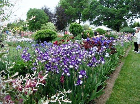 Schreiner's Iris Gardens: Just one of the beds
