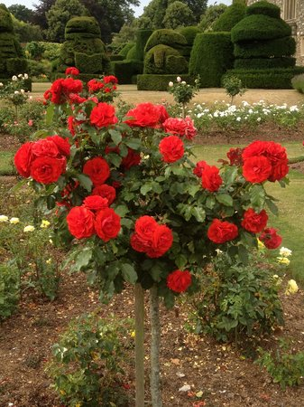 Hall Place and Gardens: beautiful roses