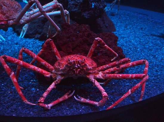 Ripley's Aquarium of the Smokies: King of the Crabs!