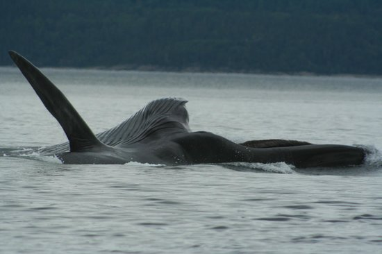 Otis Excursions : Fin whale, mouth wide open, feeding on krill