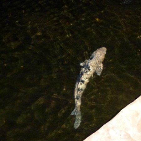 Pulehu: hopeful koi swim near the tables hoping for scraps?