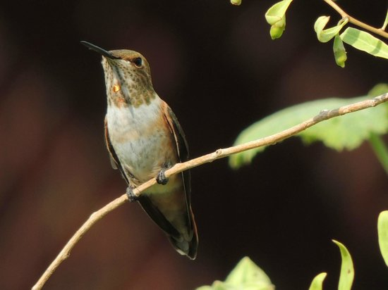 El Mono Motel: Rufous Hummingbird in the garden area