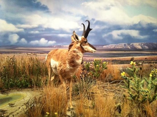 Sam Noble Oklahoma Museum of Natural History: Pronghorn