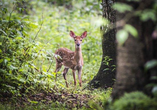 Len Foote Hike Inn: deer
