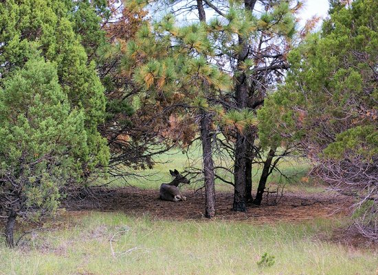 Lincoln National Forest: Deer resting in the cool shade of a Juniper tree