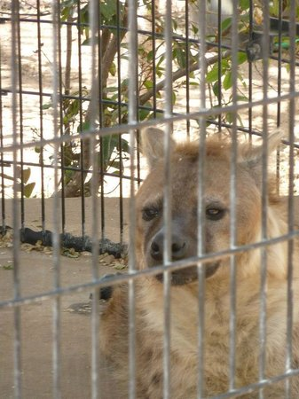 Hillcrest Park Zoo : hyena