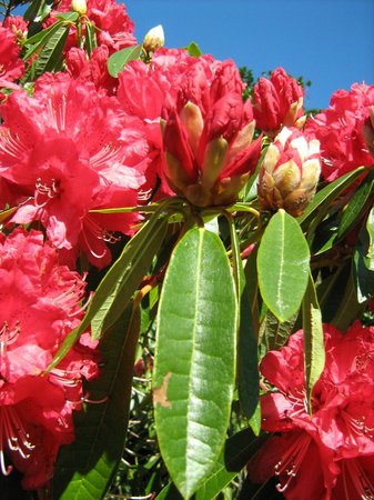 Lovely Rhodos Amongst The Many Beautiful Flowers In The Gardens