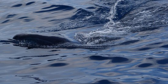 Whaleshark Tours: Whale shark from the boat