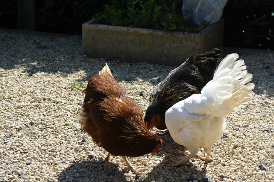Leigh House: free range chickens