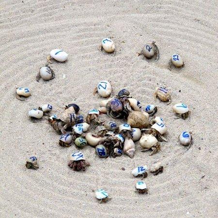 Robinson Crusoe Island Resort: Hermit crab racing
