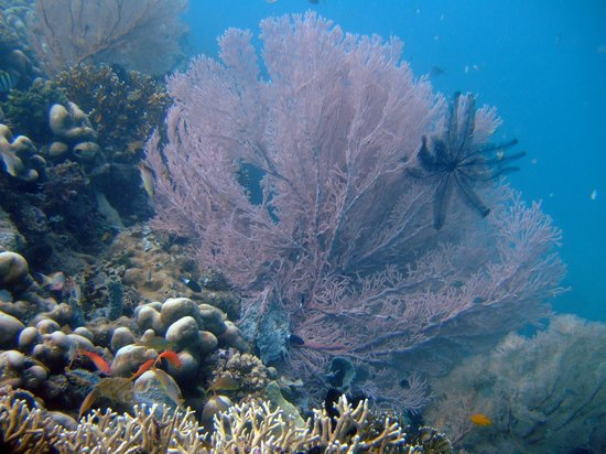 Reef Seen Aquatic: Grogonian fan at Menjangan