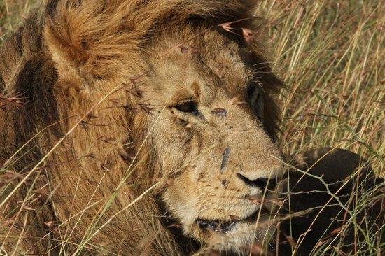 Rekero Camp, Asilia Africa: Scar!!