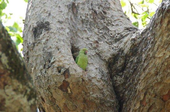Jaya Sri Maha Bodhi: The parrot