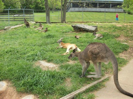 Kentucky Down Under Adventure Zoo: Lots of kangaroos!