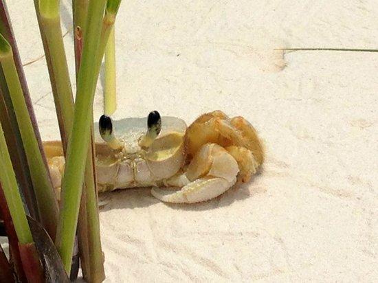 Royalton Cayo Santa Maria: Crabe de sable à la plage
