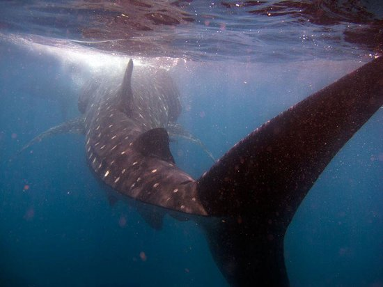 Captain Tony Garcia's Guadalupana Tour Boat: Whale Shark