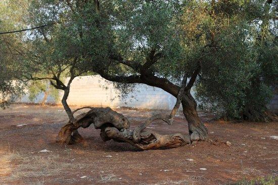 Residence Gli Ulivi : L'ulivo più strano di tutto l'oliveto del residence
