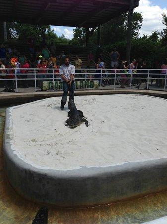 Gatorland: Gator show