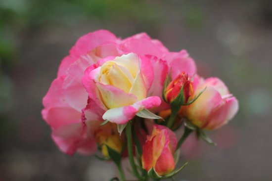 Woodland Park and Rose Garden: Roses