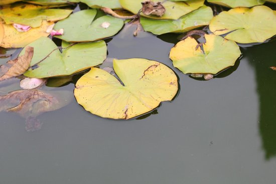 Woodland Park and Rose Garden: Lily pads in gazing pool