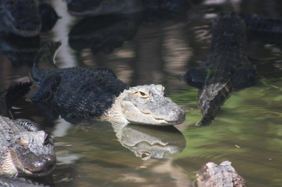 Gatorland: gator