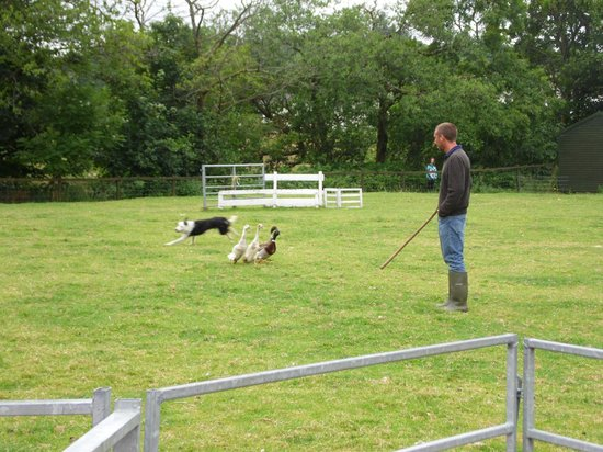 Aberfoyle, UK : Sheepdog display at The Scottish Wool Centre