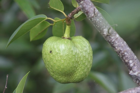 Daggerwing Nature Center: pond apple