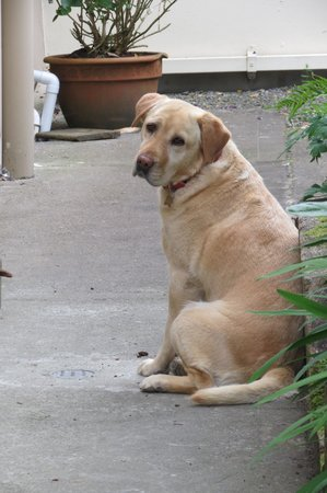 Kingfisher Lodge: Jazz the Labrador