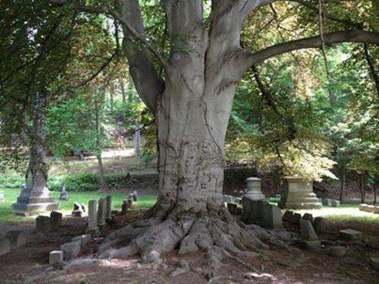 Mount Hope Cemetery: Purple beech