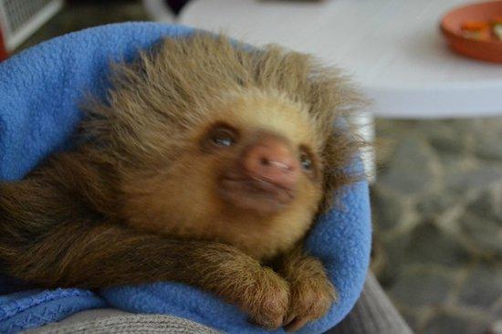Foundation Jaguar Rescue Center: Baby sloth
